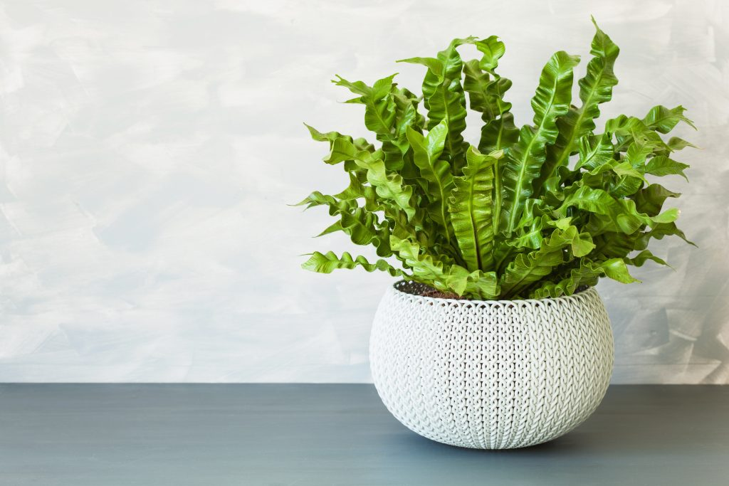 potted Bird's Nest Fern on an indoor table