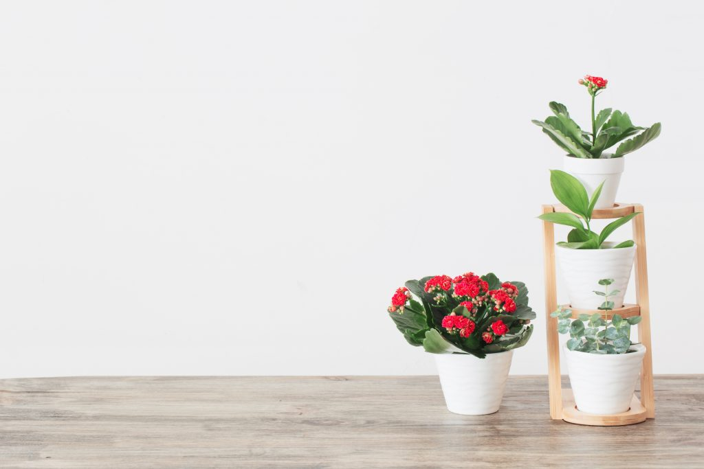 Red Kalanchoe beside other indoor houseplants in a wooden shelf