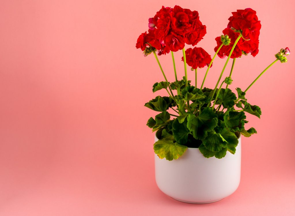Isolated red geraniums in a white pot on pink background